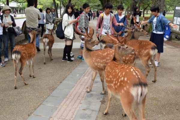 Deers roaming freely in Nara @2015