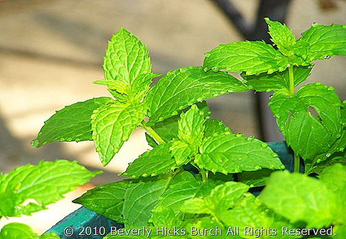 Mint after the rain