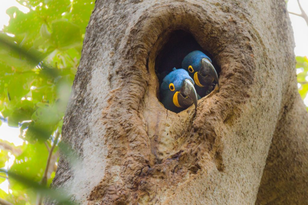 Two blue Macaws peer out from a whole in a tree