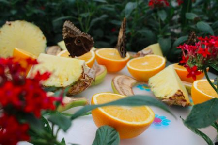 Feeding at Sensational Butterflies at the Natural History Museum