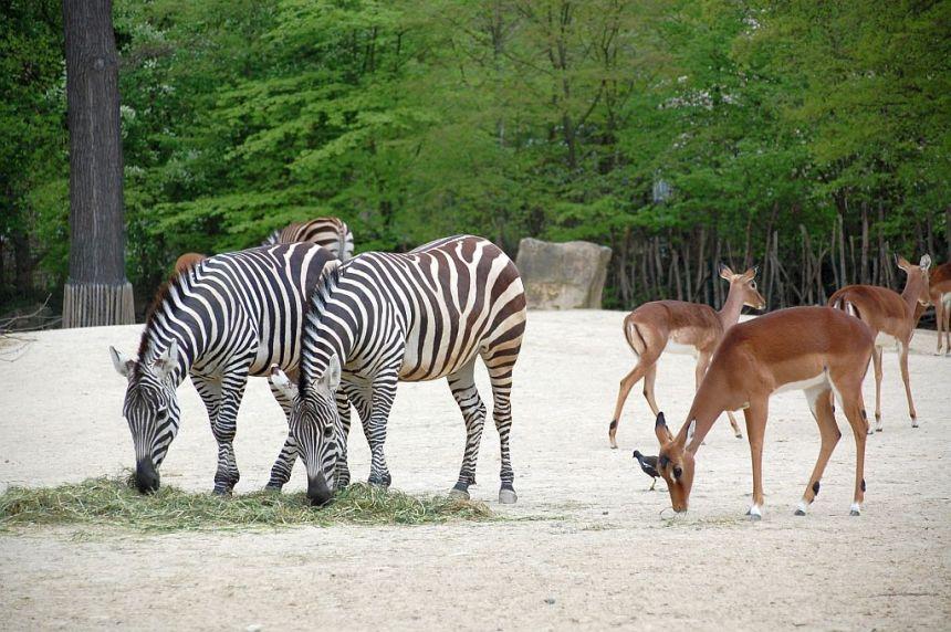 Zebras Zoo Hannover Sambesi