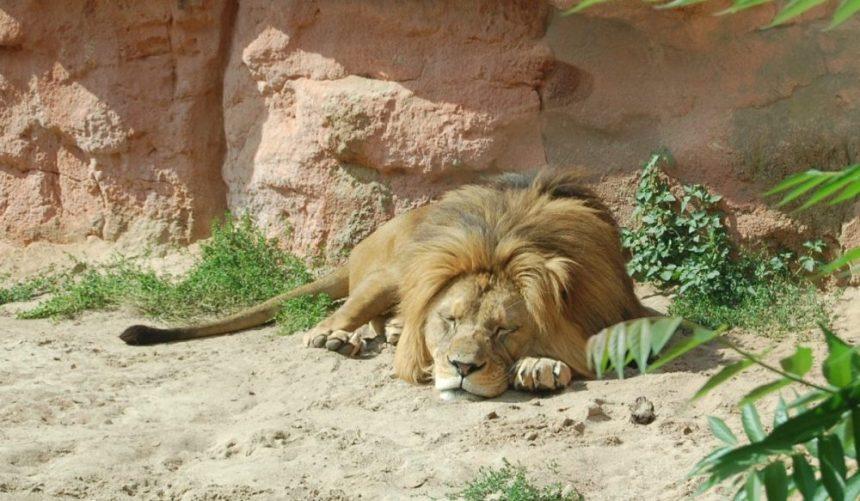 Siesta im Löwengehäge