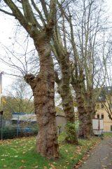 Kley alte Bäume