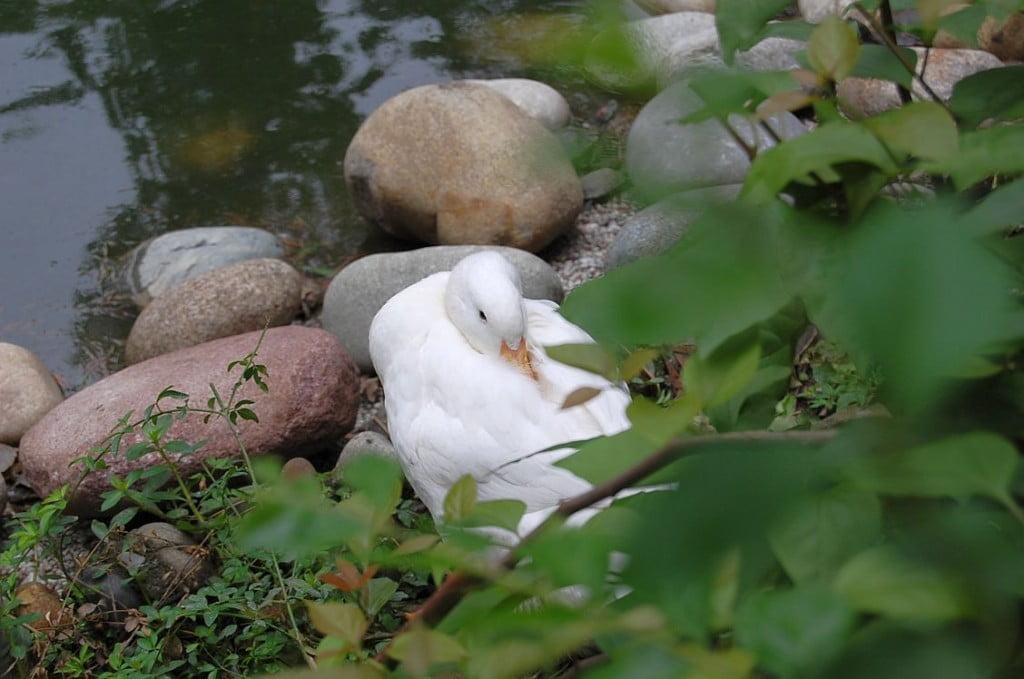 Weiße Ente im Park des Wenshu Tempels