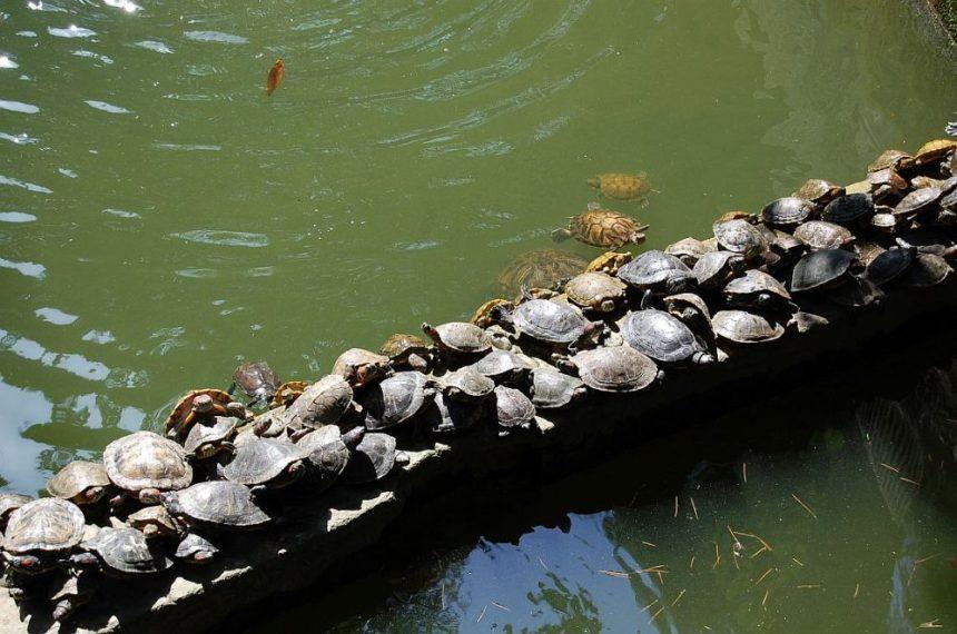 Wenshu Tempel Schildkröten