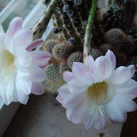 Kaktus Blüten