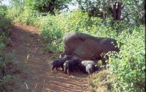 Menghun Schweinefamilie