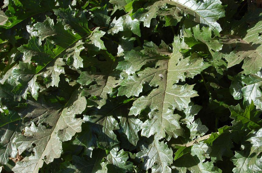Akantus - die Pflanze