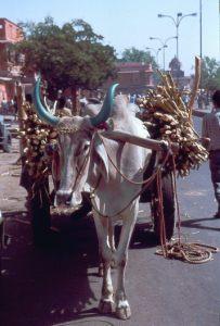 Cebu-Rind mit Karren in Jaipur