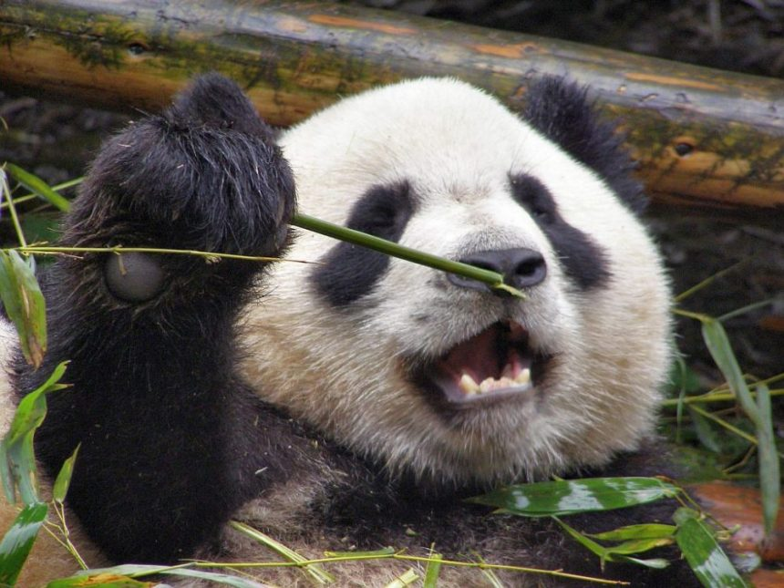 Chengdu Großer Panda mit Bambus