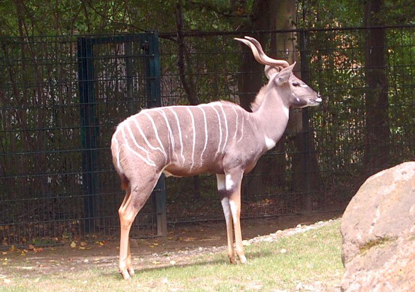 Kudu im Zoo Hannover