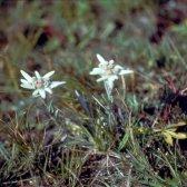 Edelweiss in der Mongolei