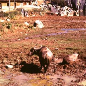 Wasserbüffel im Dorf 1987