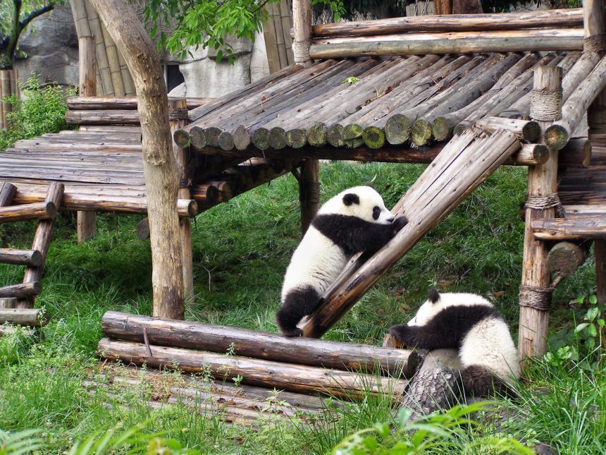 Pandas beim Spielen in der Panda-Aufzuchtstation