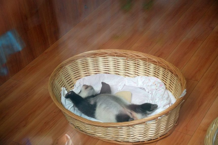 Panda Baby in Bifengxia