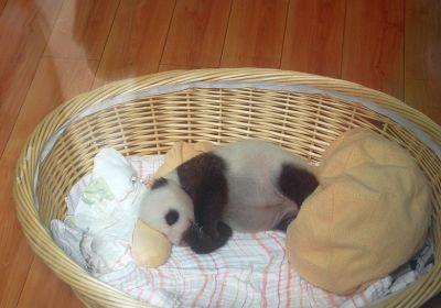 Baby-Panda in Bifengxia