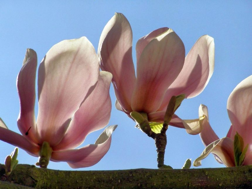 Magnolien blühen
