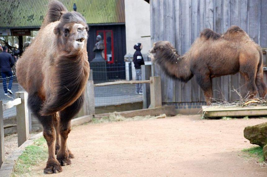 Kamel im Wind