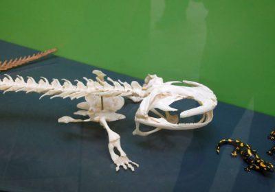 Chinesischer Riesensalamander