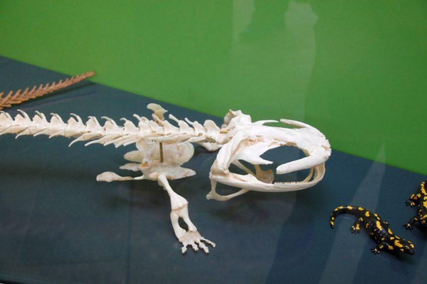 Der chinesische Riesensalamander im Landesmuseum - das Skelett.