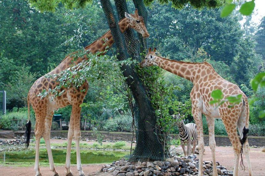 Zoo Dresden - Giraffen