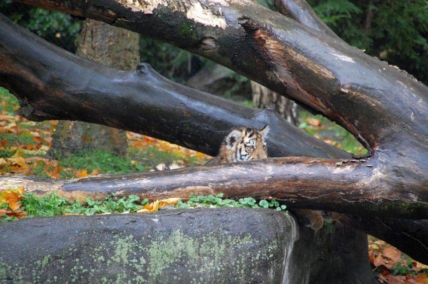 Hagenbeck Tierpark - Tigerkind