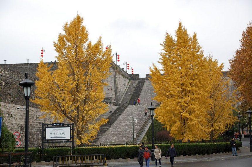 Stadtmauer mit Gingko