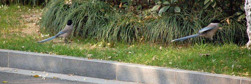 Blauelstern im Park
