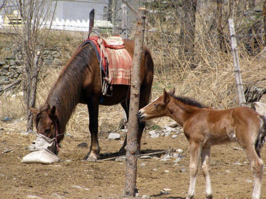 Dailuo Pferde