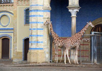 Giraffen im Außengehee