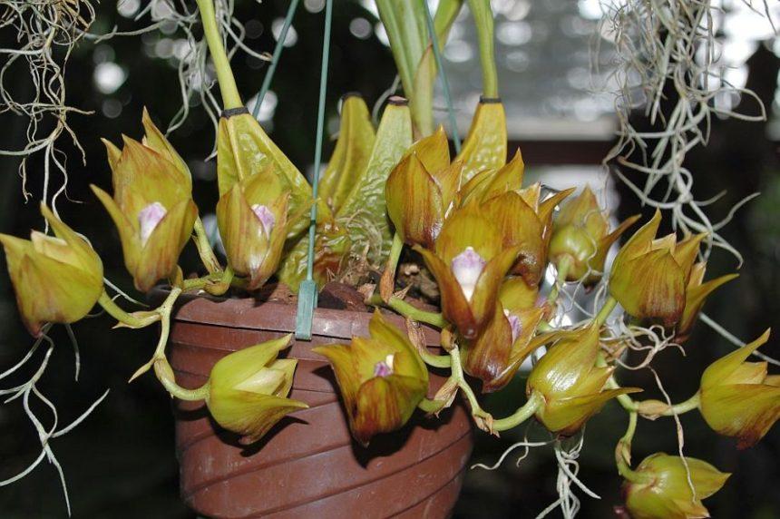 Berggarten Orchidee
