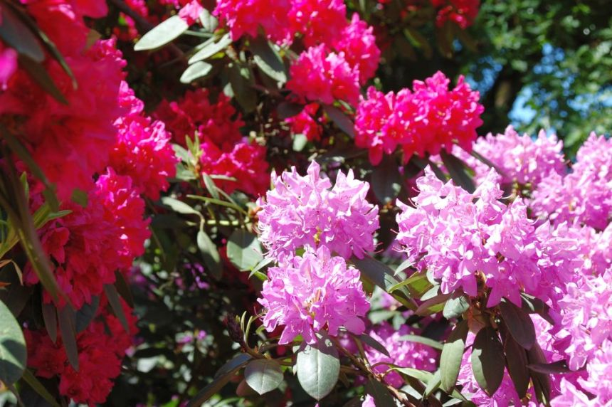 Rhododendron in rosa und rot.