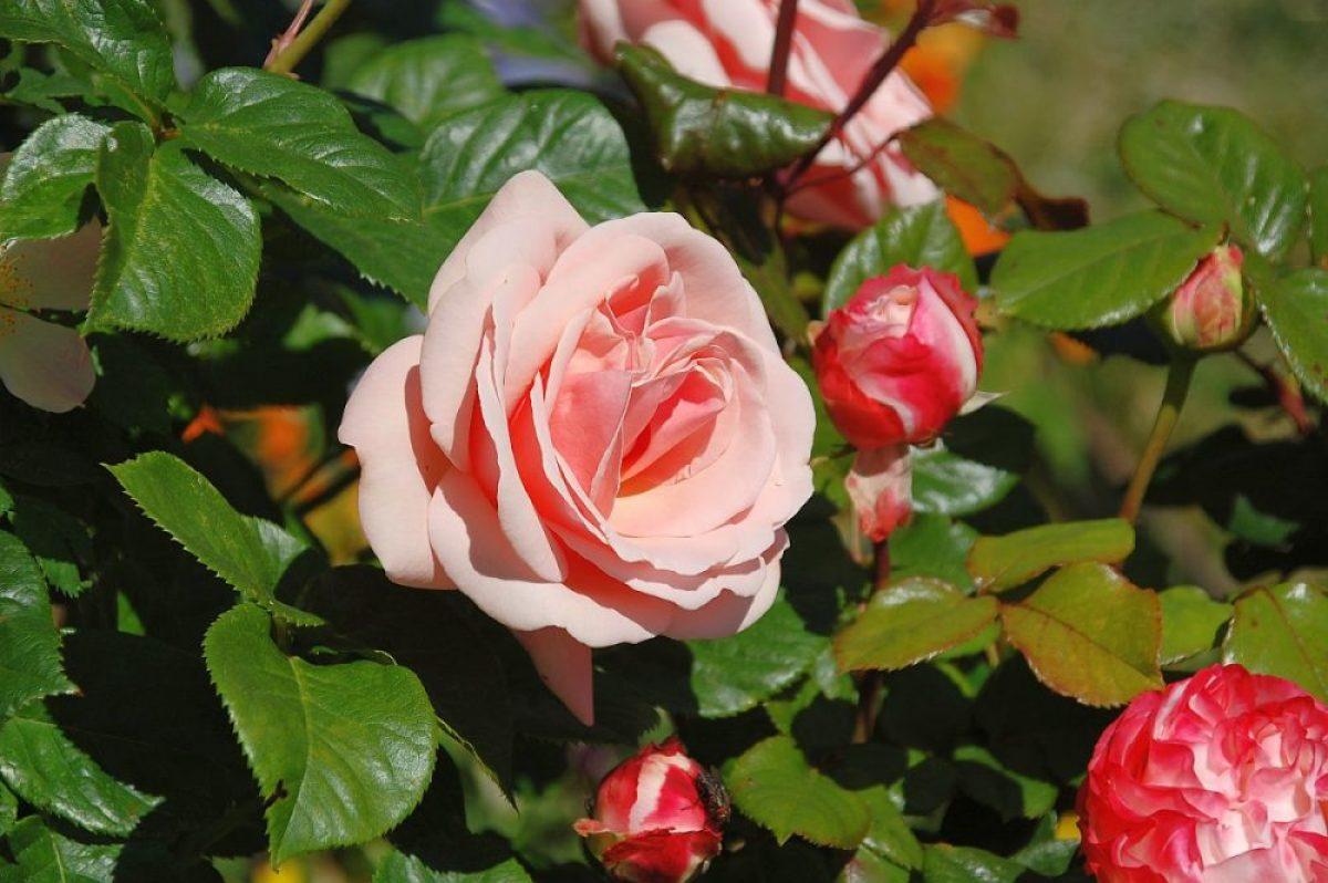 Rosen im Frühsommer