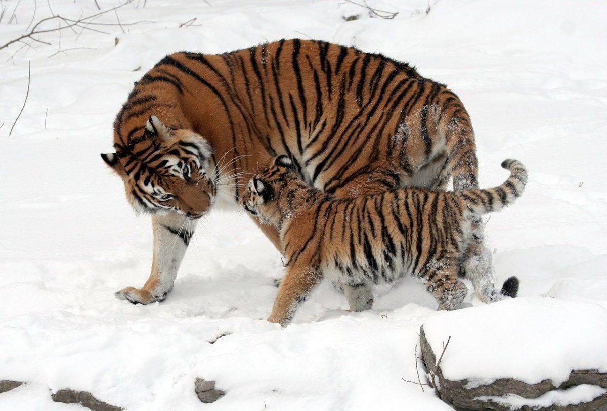Tiger in China, im Schnee