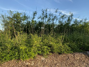 Bonnie bamboo in ground