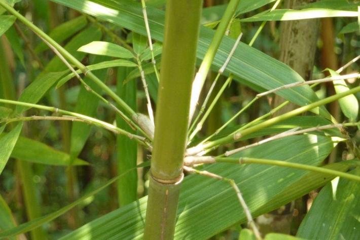Tonkin Bambusstab im Wald CONBAM