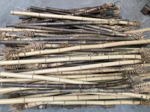 Bambusrohr-mit-Wurzel--und-Rhizomansatz CONBAM.jpg