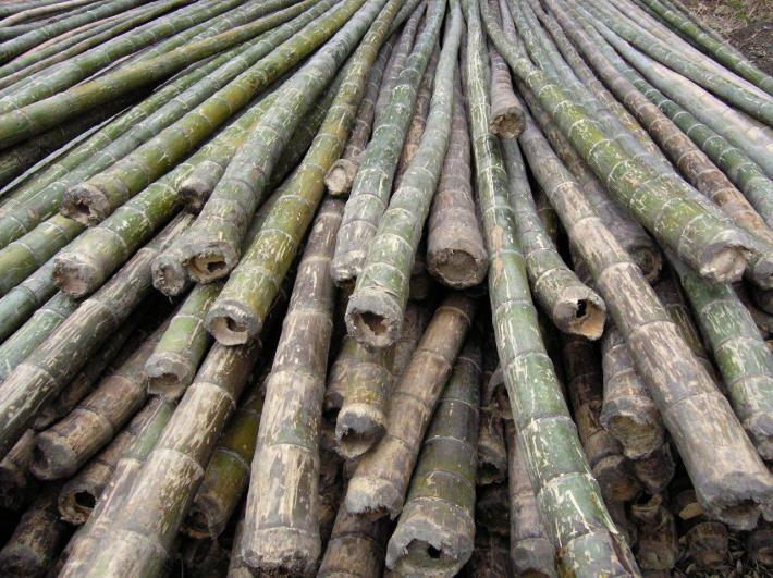 geerntete Bambusstäbe CONBAM