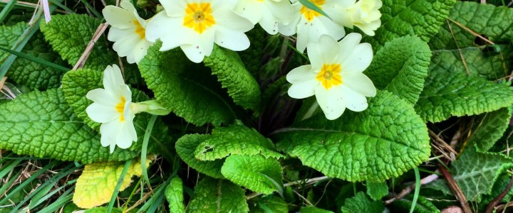 Pic of the Weekend | Primroses in Spring
