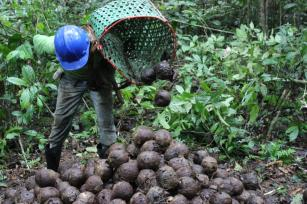 Amazonas registra a maior produção de castanha da Amazônia e a segunda maior de açaí, no país.