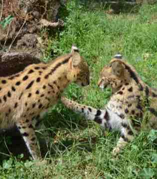 1 Serval 2