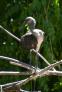 Jeune ibis rouge[20498]