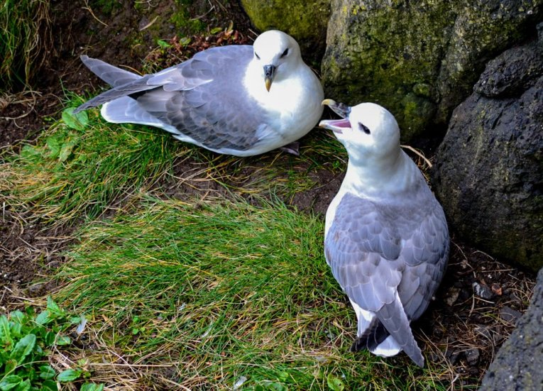 Nesting Kittiwakes Birds,Rathlin Island Ferry Day Trip from Ballycastle