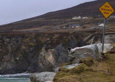 Sheep on a Cliff on Achill Island, Ireland, Mayo
