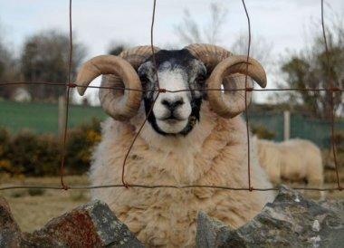 Mourne Mountains, Sheep Achill Island, Ireland, Mayo