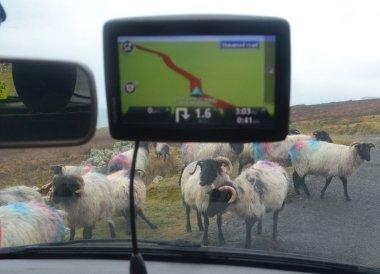 Sheep on the Road. Wild Atlantic Way Road Trip West Coast of Ireland