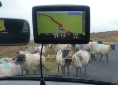 Sheep on the Road. Wild Atlantic Way Road Trip West Coast of Ireland