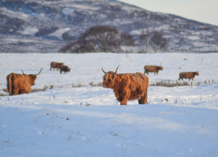 Highland Cow in Snow, Scotland Road Trip in Scottish Highlands in Winter Snow
