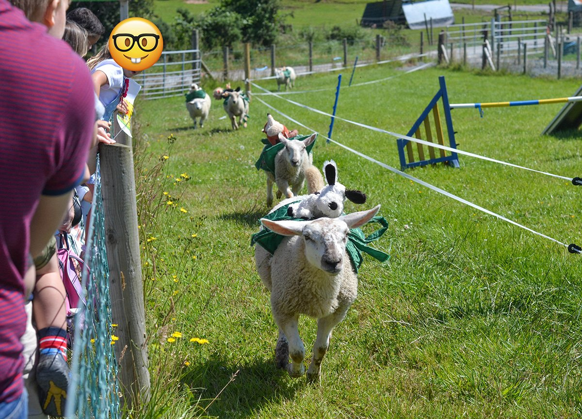 Sheep Race at Streamvale Open Farm Dundonald NI