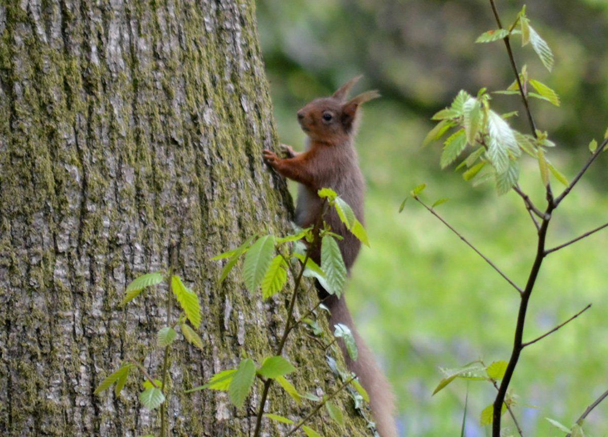 Red Squirrel at Mount Stewart House and Gardens Estate N Ireland
